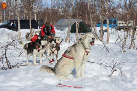 Några renrasiga polarhundar: Eva Persson med sitt spann.